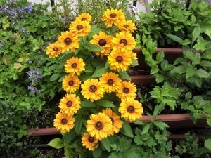 越冬した花が満開