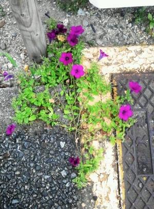 アスファルトの花