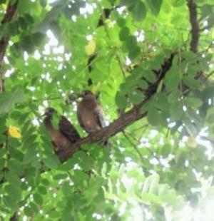 野鳩のひなが旅たち