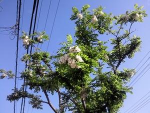 ピーターパン前、街路樹の花