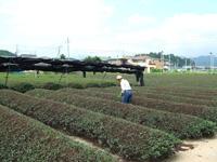日本茶のふるさと・・・滋賀県